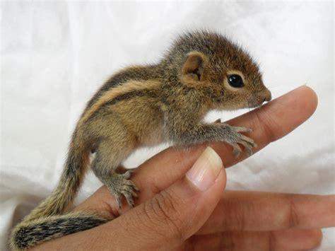 Baby Chipmunk Actually Sucking Its Thumb Aww