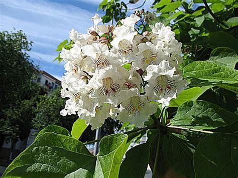 growing southern catalpa   home garden