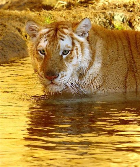 golden tiger big beautiful felines pinterest