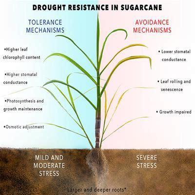 frontiers sugarcane water stress tolerance mechanisms
