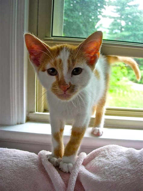 pretty cats arctic ginger