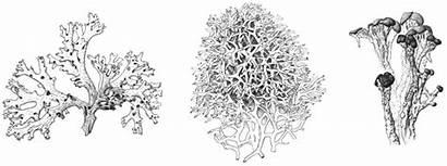 Lichen Scientific Lichens Coloring Illustration Botanical Template