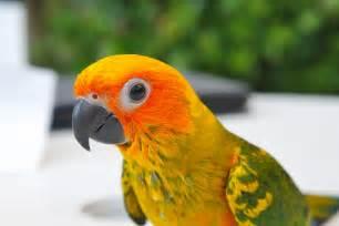 Baby Sun Conure Parrot