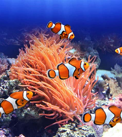 fascinating clownfish facts  information  kids