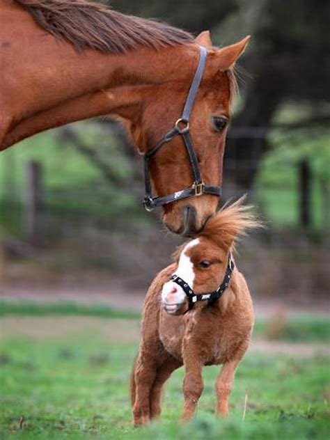 miniature tiny horses horse pets mini baby dwarf smallest cute foal animals animal pony poney mare mother koda cutest adorable