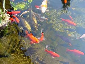 Karpfen Im Gartenteich : klares wasser im gartenteich schwimmbad und saunen ~ Lizthompson.info Haus und Dekorationen