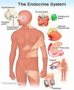 Endocrine System  Illustrations Of Anatomy  Function