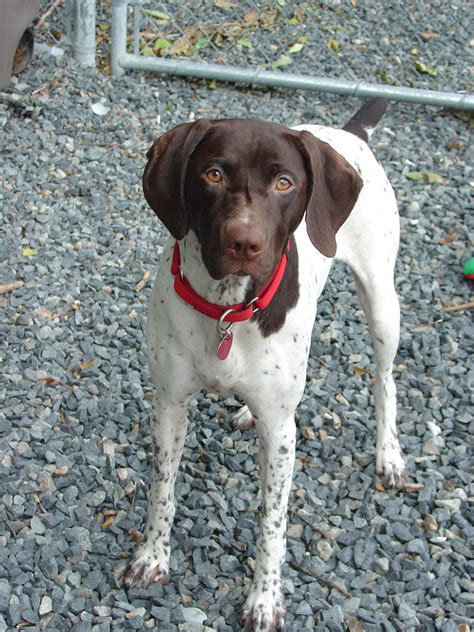 German Shorthaired Pointer Dog Breed Information, Puppies
