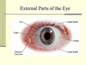 Parts Of Eyelid Kardas Klmphotography Co