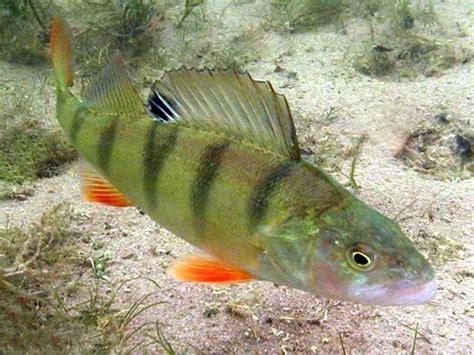fish bilder kostenlos fisch bilder zum ausmalen