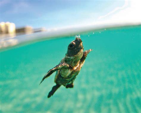 Animal Planet Live Wallpaper - sea turtle calendar contest winners sea turtle conservancy