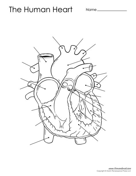 human heart diagram unlabeled tims printables