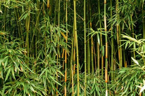plants that go with bamboo three ways on how to grow healthy bamboo out of culm cuttings