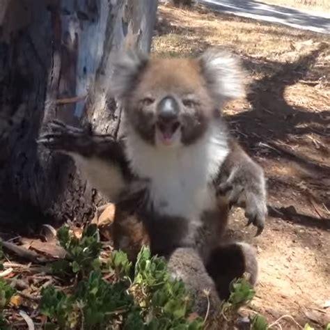 koala wird vom baum geschubst