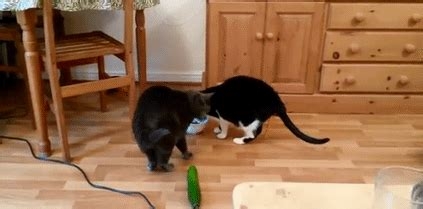 cats scared  cucumbers    show