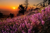 Figueroa Mountain Lupines by Quan Yuan on 500px ...