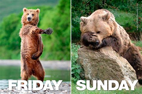friday  sunday explained   bear  funny pics