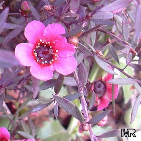 leptospermum scoparium manuka  zealand tea tree
