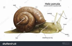 Garden Snail  Helix Pomatia  Diagram