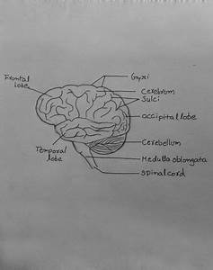 Draw It Neat  How To Draw Human Brain