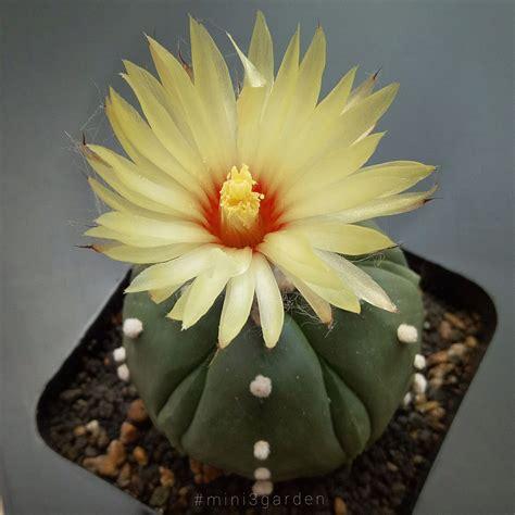 #astrophytum # ดอกแคคตัส | ดอกไม้กระถาง, ดอกไม้, แอสโตร