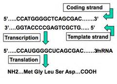 difference between template strand and coding strand rna protein metabolism flashcards quizlet