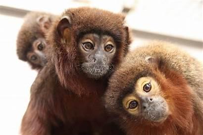 Titi Monkey Profile Primates Diet Facts Habits