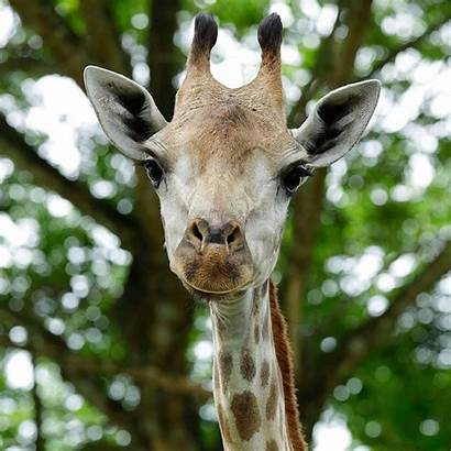 Animals Zoo Singapore Giraffe Zones Wildlife Reserves