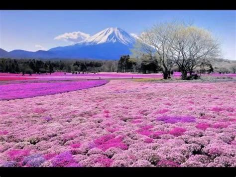 Breathtaking Beauty Shibazakura Flower Festival Mount