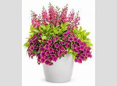Supertunia® Picasso in Purple® Petunia hybrid Proven