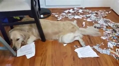 Super Sneaky Golden Retriever Acts Innocent And Tired After This Mess