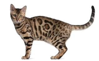 what is a bengal cat bengal cats everything you need to about the breed
