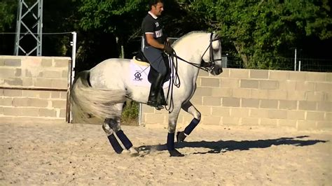 dressage andalusian horse pre training ii