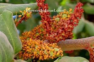 Plants Of The Bible  Carob Tree