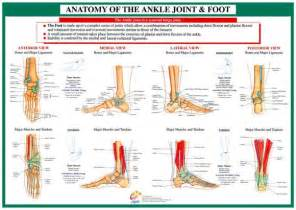 Ankle Foot Joint Anatomy