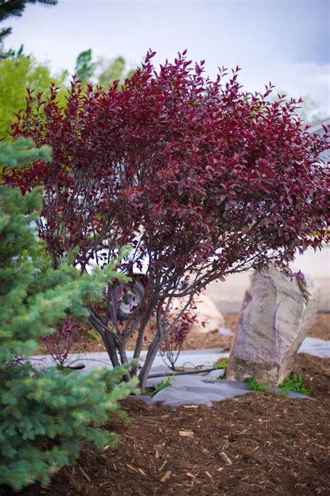 purple leaf plum tree for sale plum purple leaf sandcherry creekside tree nursery