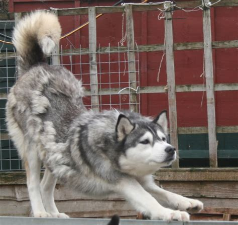 do haired akitas shed 28 images shikoku care how coated owners deal with coat how do