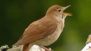 Heimische Singvögel Bilder : v gel in der gro stadt die sprache der singv gel wissen ~ Whattoseeinmadrid.com Haus und Dekorationen