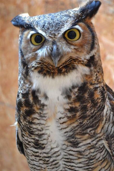 great horned owl owltastic owl bird horned owl