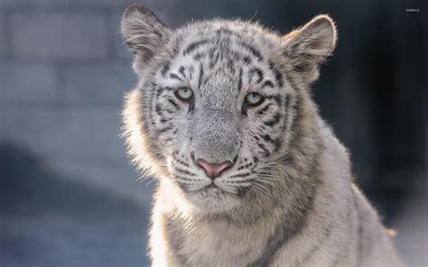 weißer tiger kostüm white tiger cubs wallpaper 57 images