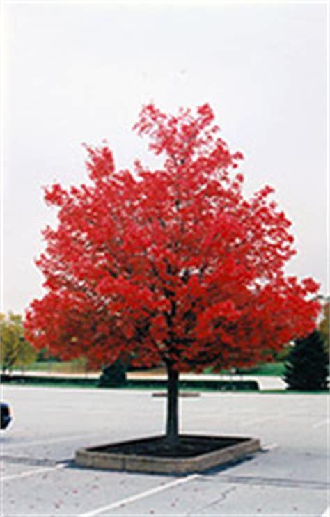 red maples   landscape  oak leaf
