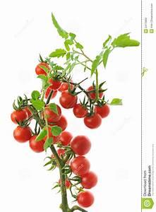 Plant Tomate Cerise : tomate cerise photographie stock image 24173962 ~ Melissatoandfro.com Idées de Décoration