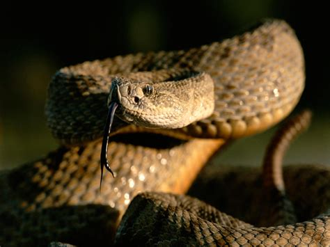rattlesnake pictures national geographic