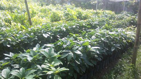 pusat bibit tanaman buah berkualitas 187 taman inspirasi safa