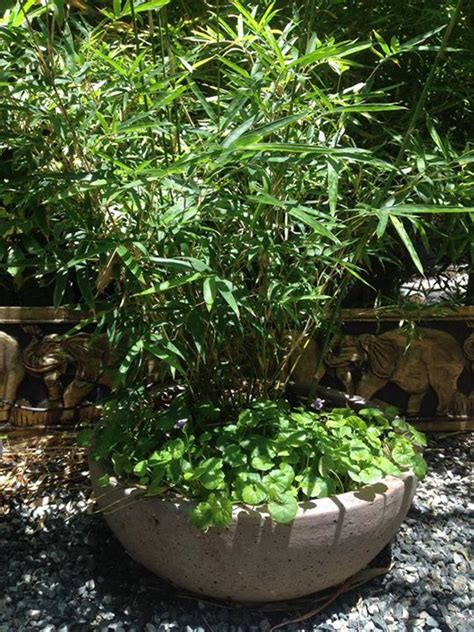 japanese bamboo plant care japanese hedge bamboo plants perth bamboo landscape plants bamboo wa