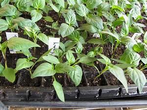 Pepper Plant Seedlings