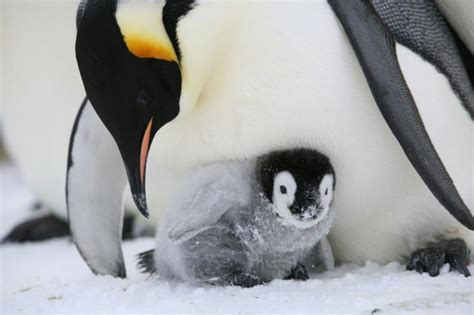 facts  emperor penguins