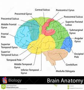 Brain Anatomy Diagram