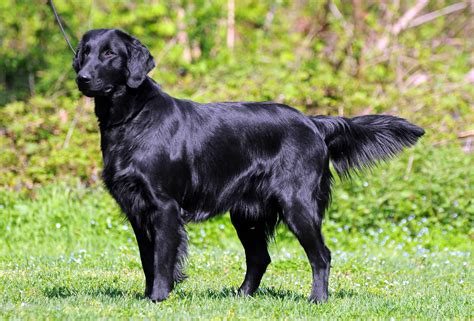 Flat Coated Retriever - Breeders, Puppies and Breed ...
