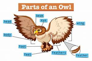 Diagram Showing Parts Of Owl Vector